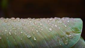 Droppar av vatten på ett bananblad Royaltyfri Foto