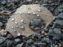 Droppar av vatten på ett blad Fotografering för Bildbyråer