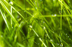 Droppar av vatten på gräs Naturlig bakgrund Makro Arkivbilder