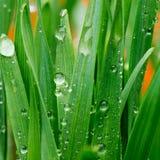 Droppar av vatten på gräset Arkivfoton