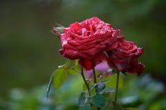 Droppar av vatten på rosen tät for för ätamatflicka upp royaltyfria foton