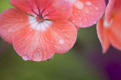 droppar blommar rosa vatten Royaltyfri Fotografi