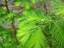 Droppar för dagg för granträd royaltyfri foto