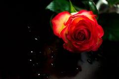 Droppar för en röd ros och vatten arkivbild
