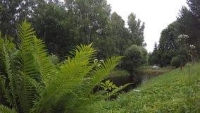 Droppar för för ormbunkeväxtsidor och regn faller på dammsjövatten nära skogen 4K arkivfilmer