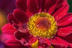 Droppar i blomman Royaltyfria Bilder