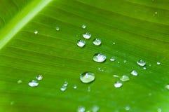 Droppar på bladet av en bananväxt fotografering för bildbyråer
