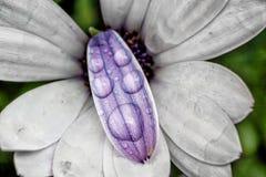 Droppar på blomman Arkivfoto