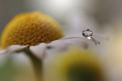 Droppar på den blom- bakgrundscloseupen Stillsamt abstrakt closeupkonstfotografi Tryck för tapet Blom- fantasidesign Royaltyfria Foton
