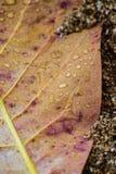 Droppar på det gula bladet Arkivfoto