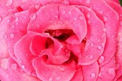 droppar rain rose Royaltyfri Bild