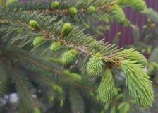 Droppe för Blawball 'helikopterregn på gran-träd Arkivbild