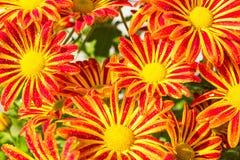 Droppe för vatten för reflexion för växter för Colorfull blomma röd gul orange förbluffa arkivbild