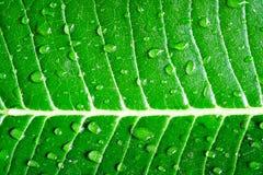 Droppe på det gröna bladet Royaltyfria Bilder