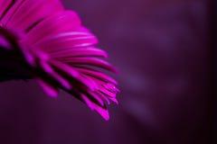 Droppe på en purpurfärgad gerbera Fotografering för Bildbyråer
