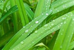 Droppe på gräs Arkivbild