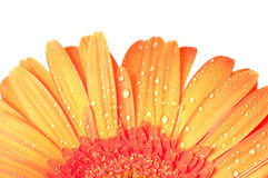 Dropped daisy gerbera flower Royalty Free Stock Photography