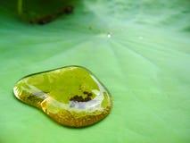 Droppen på lotusblommabladet Arkivbilder