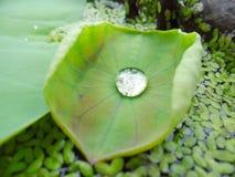 Droppen på lotusblommabladet Arkivfoto