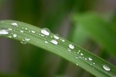 droppgräs Arkivbild
