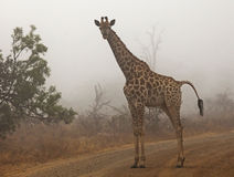 Droppings (Shit) might happen. Giraffe photographed early on a misty morning.  The droppings of the giraffe reminded me how problems sometimes just may happen in Royalty Free Stock Photos