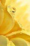 dropppetal Royaltyfri Foto