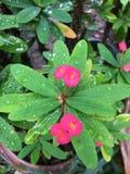 Droppvatten med rosa färgblomman Arkivfoton