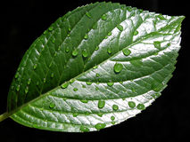 Drops. Rain drops in a leaf royalty free stock image