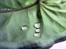 Drops. On leaf Stock Photography