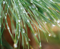Drops. Detail of drops on tree royalty free stock images