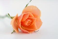 Drops. On yellow orange rose Royalty Free Stock Image