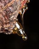 drops of amber pitch flow down on tree Royalty Free Stock Photography