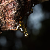 drops of amber pitch flow down on tree Stock Images