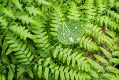 Drops on a aspen leaf Stock Photo