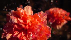 Drops on carnation flower, slow motion stock video
