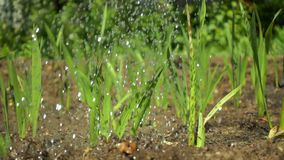 Drops of clean water irrigate dry soil and shoots of green plants, slow motion.  stock video footage
