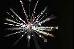 Drops on a dandelion Stock Image