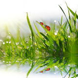 Drops of dew on blades of green grass and ladybugs Stock Image