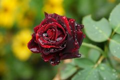 A dark red rose with drops of water on the stem with leaves royalty free stock photos