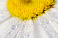 Drops of dew on a camomile Royalty Free Stock Photos