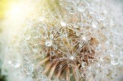 Drops of dew on dandelion leontodon Stock Images