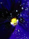 Drops of dew on a deep blue flower Stock Image