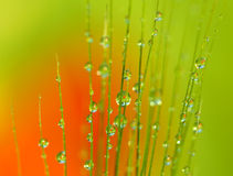 Drops of dew on the ear of wheat - macro Stock Image