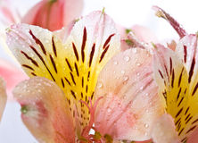 Drops of dew on the flowers alstroemeria Royalty Free Stock Photo