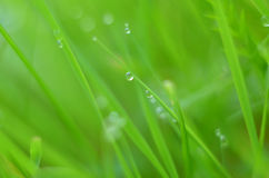 Drops of dew on fresh green grass. Macro view of green grass on a blurred green background. Water drops on a blade of grass Stock Image
