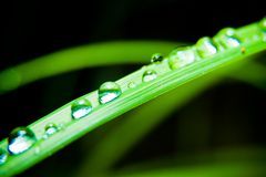 Drops Of Dew On Grass Royalty Free Stock Image