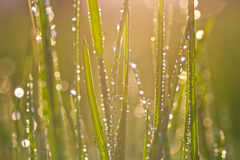 Drops of dew on a grass Royalty Free Stock Photography