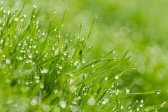 Drops of dew on grass Royalty Free Stock Images