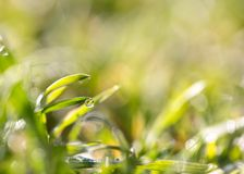 Drops of dew on the grass Stock Images