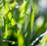 Drops of dew on the grass Royalty Free Stock Photo